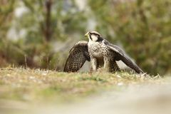 Falco biarmicus. Predator was photographed in the Czech Republic. Big predatory bird living in Africa, Southeast Europe and Asia. Autumn nature. Bird. Nice Stock Photo