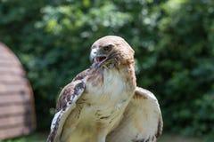 Falco caldo fotografie stock