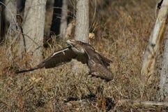 Falco che cattura volo Fotografie Stock Libere da Diritti