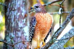 Falco che guarda alla destra Fotografia Stock Libera da Diritti