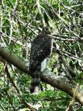 Falco che si nasconde da Eagle calvo immagine stock libera da diritti