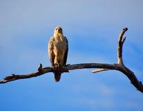 Falco che si siede su un ramo morto Fotografia Stock Libera da Diritti