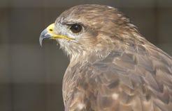 Falco cherrug Stock Image