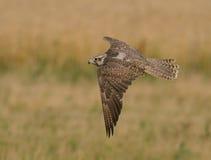 Falco cherrug Arkivbilder