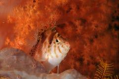 Falco Cirrhitichthys hawkfish коралла отдыхая на губке Malapascua, Филиппины стоковая фотография