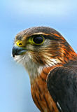 Falco columbarius Royalty Free Stock Image