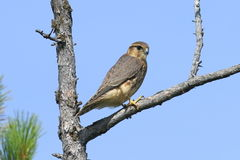Falco columbarius. Falcon Merlin sits on the dry branches of a p. Falco columbarius. Falcon Merlin closeup in the North of Western Siberia Stock Photo