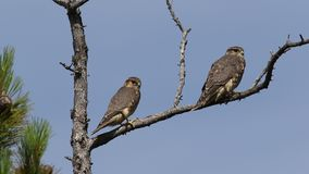 Falco columbarius. Two falcons Merlins closeup in the North of Western Siberia stock video