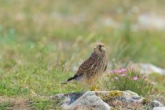 Falco comune Fotografia Stock Libera da Diritti