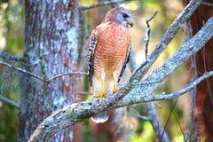 Falco con posizione completa del corpo Immagini Stock