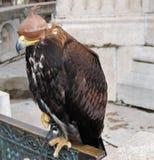 Falco con un cappuccio dell'occhio Fotografie Stock Libere da Diritti