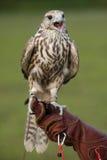 Falco con una preda Fotografie Stock Libere da Diritti