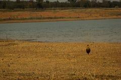 Falco conosciuto come il ¡ di CarcarÃ, tipico del brasiliano Cerrado, sulle banche della diga di Três Marias, nel fiume di São  fotografia stock
