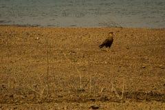 Falco conosciuto come il ¡ di CarcarÃ, tipico del brasiliano Cerrado, sulle banche della diga di Três Marias, nel fiume di São  immagine stock libera da diritti