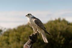 Falco in Cornovaglia Immagine Stock