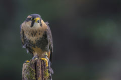 Falco CRC di Applomado Fotografia Stock