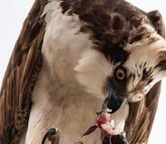 Falco d'alimentazione del falco pescatore che si alimenta il pesce fresco fotografie stock libere da diritti