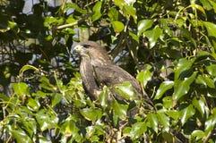 Falcão da águia. Fotos de Stock Royalty Free