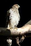 Falco dei bottai Fotografia Stock Libera da Diritti