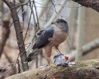 Falco dei bottai (Accipiter Cooperi) Fotografie Stock