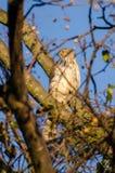 Falco dei bottai appollaiato Fotografie Stock Libere da Diritti