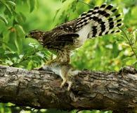 Falco dei bottai con l'uccisione del coniglio Immagine Stock