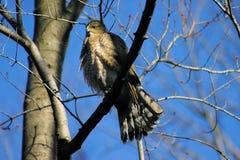 Falco dei bottai di Cooperii del Accipiter Fotografie Stock