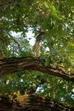 Falco dei bottai in un albero fotografia stock