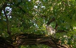 Falco dei bottai in un albero fotografie stock libere da diritti