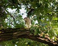 Falco dei bottai in un albero fotografie stock