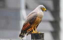 Falco del bordo della strada Fotografie Stock