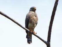 Falco del bordo della strada Fotografia Stock Libera da Diritti