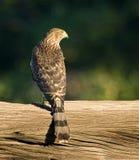 Falco del bottaio Fotografie Stock