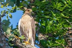 Falco del bottaio Fotografie Stock Libere da Diritti