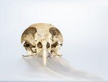 Falco del cranio su fondo bianco Immagini Stock Libere da Diritti