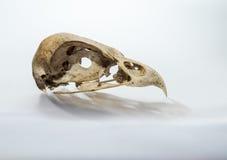Falco del cranio su fondo bianco Fotografie Stock Libere da Diritti