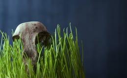 Falco del cranio sull'erba verde Fotografia Stock