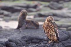 Falco del Galapagos Fotografie Stock Libere da Diritti