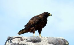 Falco del Galapagos sull'isola di Espanola fotografia stock