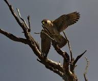 Falco del HALCÓN de PEREGRINO Fotos de archivo libres de regalías