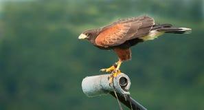 Falco del Harris fotografia stock libera da diritti