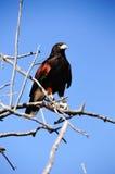 Falco del Harris Fotografia Stock