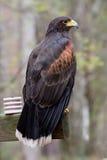 Falco del Harris Immagini Stock