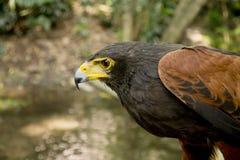 Falco del Harris dal lato Fotografie Stock