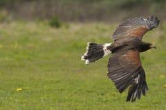 Falco del Harris durante il volo Fotografia Stock Libera da Diritti
