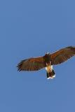Falco del Harris durante il volo Fotografie Stock Libere da Diritti