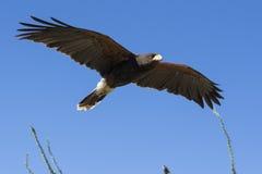 Falco del Harris durante il volo Immagine Stock Libera da Diritti