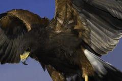 Falco del Harris (maschio) Fotografie Stock