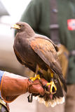 Falco del Harris sul guantone di protezione fotografia stock