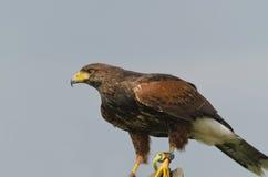 Falco del Harris (unicinctus di parabuteo) Fotografia Stock